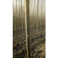 杨树苗批发价格、生命力极强 用途广泛防护树