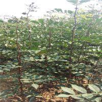 信森农业科技种植花椒苗方法 高产花椒苗供应基地 大红袍