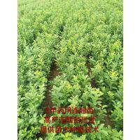 山西连翘树苗供应商 高度20-30-40-50-60-80公分连翘小苗价格