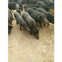 藏香猪养殖前景分析,怎么养藏香猪