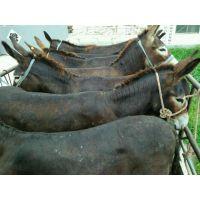 邯郸市大型肉驴养殖育肥小驴驹价格基础母驴价格怀孕母驴价格