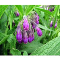 供应天然植物精油 紫草精油 化妆品用香料 现货包邮