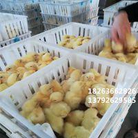 环保纯原料鸡苗箱鸡苗筐 白色运输透气塑料鸡苗筐 带隔板鸡苗运输笼