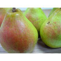 西洋梨树苗价格