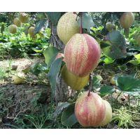 泰安早酥红梨树苗,1米高早酥红梨树苗价格
