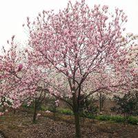 鄢陵县永博花卉苗圃园 3-15公分红白黄玉兰直销