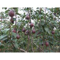 考密斯红梨苗,1公分考密斯红梨苗价格