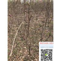 2018年上海地区爬藤植物地径5公分紫藤树苗价格多少钱一棵地被植物基地