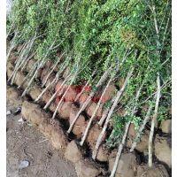 江苏黄杨树基地 出售2公分粗独杆小叶黄杨树 欢迎来电咨询