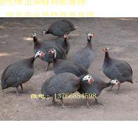 黑河珍珠鸡养殖场、珍珠鸡雏、鸡西珍珠鸡养殖场、珍珠鸡雏、双鸭山珍珠鸡养殖场、珍珠鸡雏