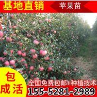 供应4公分苹果苗多少钱