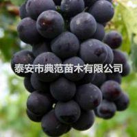 黑色甜菜葡萄苗 黑色甜菜葡萄苗价格 品种纯正