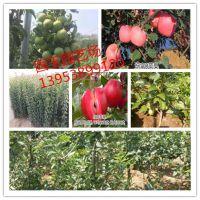 鸡心果苹果树苗零售价格 鸡心果苹果树苗几年结果