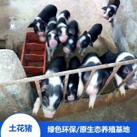 流沙河宁乡土花猪生态养殖宁乡土花猪烤乳猪食材养殖场直销