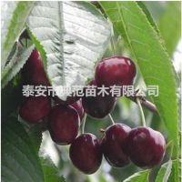 黑珍珠樱桃苗 黑珍珠樱桃苗价格 基地种植品种介绍