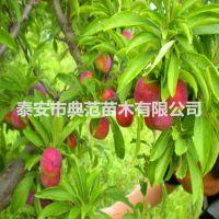 脆红李子苗价格 脆红李子苗产地发售 现挖现卖