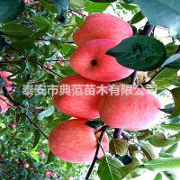 烟富8苹果苗价格 山东苹果苗基地烟富8苹果苗介绍