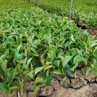 吉赛拉6号扦插苗 扦插苗产地山东泰安盛森园林