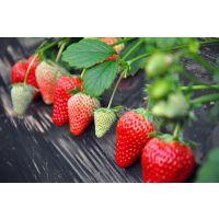 大型草莓苗繁育基地出售精品草莓苗 甜查理草莓苗 品质保证