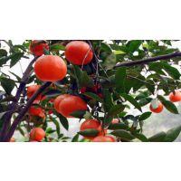 W.默科特 柑桔苗,柑橘苗,果苗,种植苗