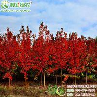 批发美国红枫秋火焰 1-10公分 行道红枫树 秋季景观树 绿化工程树