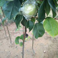 黄金梨树苗,1公分黄金梨树苗价格