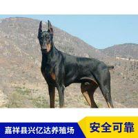 嘉祥县兴亿达纯种幼年杜宾犬幼苗销售