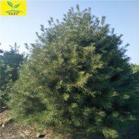 3米白皮松价格 绿化园林用树 3.5米4米5米白皮松价格 优质白皮松基地
