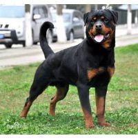 纯血统罗威纳犬的图片以及价格明细