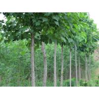 山东临沂0.5-8公分楸树绿化苗种植基地 农户直销 价格便宜