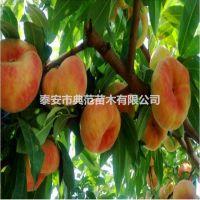 蟠桃树苗品种介绍 基地批发中蟠11号桃树苗价格