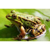 成都火锅店餐馆专用生态青蛙黑斑蛙的批发订购