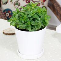 武汉绿植小型薄荷盆栽,充满幸福和希望的薄荷盆栽,能散发香气,武汉送货上门