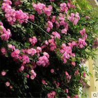 山东蔷薇花价格蔷薇常见的品种大花蔷薇价格基地一手供应