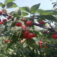 红灯樱桃苗 红灯樱桃苗价格 品种介绍产地销售