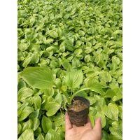 青州市紫玉簪种植批发基地