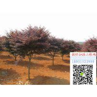 地径4公分红枫价格报价65元每棵红枫小苗多少钱一棵