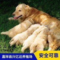 嘉祥县兴亿达精品金毛犬幼犬销售
