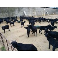 努比亚黑山羊育肥饲料,养殖黑山羊精饲料