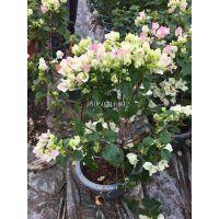 重庆樱花三角梅攀援植物,重庆樱花三角梅高度50厘米