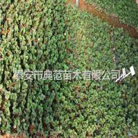 淡雪草莓苗价格 淡雪草莓苗 特色品种介绍