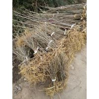 50公分高构树小苗价格,生长快构树小苗价格