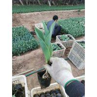 郁金香种球小苗绿化苗木价格