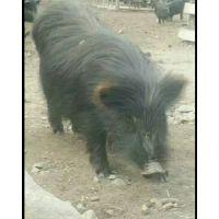 福建三明藏香猪肉批发价格多少