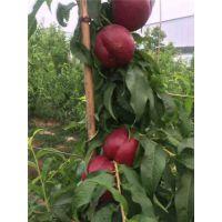 立夏红油桃苗多少钱一株 立夏红油桃苗栽培要点