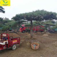 泰山景松 3米高造型松树 造型奇特 5-10公分地径规格 可盆栽地栽