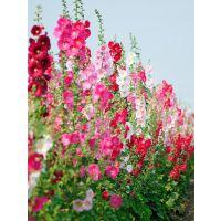 山东宿根花卉种植基地