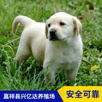 嘉祥县兴亿达正品拉布拉多犬工作犬养殖场价格