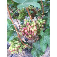 山东巨星葡萄苗 香甜可口 巨星葡萄品种栽子基地价格