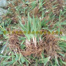 射干苗 扁竹苗 扁竹种子 射干种子一亩地几公斤